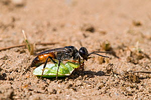 Shield Bug Hunting Wasp (Astata boops) dragging Shield bug prey back to its burrow, A small wasp that specialises in hunting 6th instar Sheild Bugs which it paralyses and takes back to its burrow wher...  -  Andy Sands