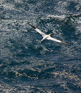 Northern gannet (Morus bassanus) in flight over sea, St. Kilda Archipielago, Outer Hebrides, Scotland, UK, June 2009 - Wild Wonders of Europe / Muñoz