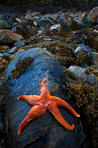 Starfish on rock at low tide, Dail Beag Beach, Lewis, Outer Hebrides, Scotland, UK, June 2009  -  Wild Wonders of Europe / Muñoz