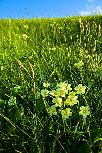 Primroses (Primula sp) in flower, Lewis, Outer Hebrides, UK, June 2009  -  Wild Wonders of Europe / Muñoz
