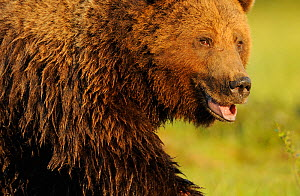 RF- European brown bear (Ursus arctos) with mouth open, Kuhmo, Finland. July. (This image may be licensed either as rights managed or royalty free.)  -  Wild  Wonders of Europe / Widstrand