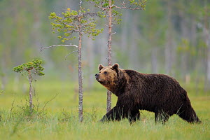European brown bear (Ursus arctos) walking, Kuhmo, Finland, July 2009  -  Wild Wonders of Europe / Widstrand