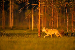 European grey wolf (Canis lupus) walking, Kuhmo, Finland, July 2009  -  Wild Wonders of Europe / Widstrand