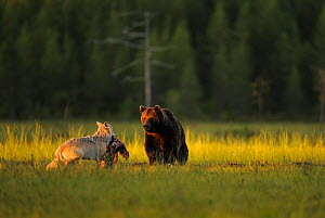 European grey wolf (Canis lupus) carrying prey interacting with a European Brown bear (Ursus arctos) Kuhmo, Finland, July 2009  -  Wild Wonders of Europe / Widstrand