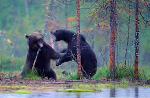 Two European brown bears (Ursus arctos) fighting, Kuhmo, Finland, July 2009  -  Wild Wonders of Europe / Widstrand