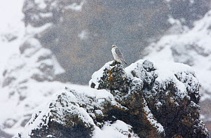 Female Gyrfalcon (Falco rusticolus) in snow, Myvatn, Thingeyjarsyslur, Iceland, April 2009  -  Wild Wonders of Europe / Bergman