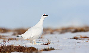 Rock ptarmigan (Lagopus mutus) standing in snow, Myvatn, Thingeyjarsyslur, Iceland, April 2009 - Wild Wonders of Europe / Bergmann