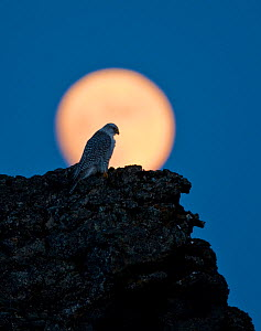 Gyrfalcon (Falco rusticolus) on rock silhouetted against full moon, Myvatn, Thingeyjarsyslur, Iceland, April 2009 - Wild Wonders of Europe / Bergmann