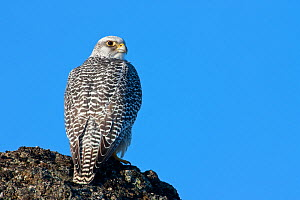 Female Gyrfalcon (Falco rusticolus) on rock, Myvatn, Thingeyjarsyslur, Iceland, April 2009  -  Wild Wonders of Europe / Bergman