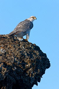 Female Gyrfalcon (Falco rusticolus) on rock ledge, Myvatn, Thingeyjarsyslur, Iceland, April 2009  -  Wild Wonders of Europe / Bergman