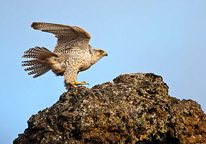 Female Gyrfalcon (Falco rusticolus) landing on rock, Myvatn, Thingeyjarsyslur, Iceland, May 2009  -  Wild Wonders of Europe / Bergman