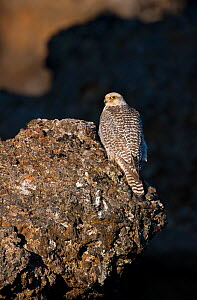 Female Gyrfalcon (Falco rusticolus) perched on rock, Myvatn, Thingeyjarsyslur, Iceland, June 2009  -  Wild Wonders of Europe / Bergman