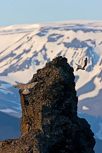 Two Gyrfalcons (Falco rusticolus) in flight, one landing on rock the other taking off, Myvatn, Thingeyjarsyslur, Iceland, June 2009  -  Wild Wonders of Europe / Bergmann