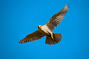 Gyrfalcon (Falco rusticolus) in flight, Thingeyjarsyslur, Iceland, June 2009  -  Wild Wonders of Europe / Bergmann