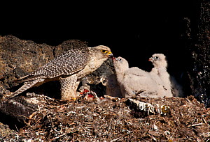 Gyrfalcon (Falco rusticolus) feeding chick, Thingeyjarsyslur, Iceland, June 2009  -  Wild Wonders of Europe / Bergmann