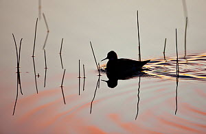 Red-necked phalarope (Phalaropus lobatus) on water, silhouetted, Thingeyjarsyslur, Iceland, June 2009  -  Wild Wonders of Europe / Bergmann