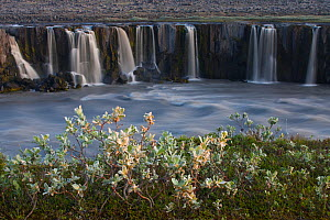 Woolly willow (Salix lanata) growing by Selfoss waterfall, J�kuls�rglj�fur National Park, Thingeyjarsyslur, Iceland, July 2009  -  Wild Wonders of Europe / Bergmann