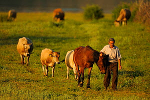 Farmer walking home with horse and cattle in the evening, Lake Prespa National Park, Albania, June 2009  -  Wild Wonders of Europe / Geidemark
