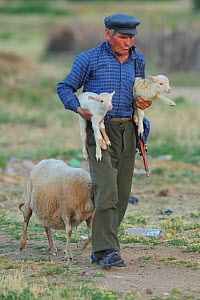 Shepherd carrying two lambs with a sheep following, Lake Prespa National Park, Albania, June 2009  -  Wild Wonders of Europe / Geidemark