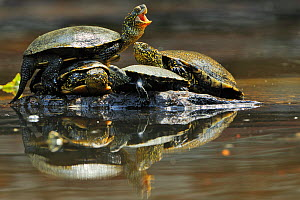 Three European pond turtles (Emys orbicularis) and a Balkan terrapin (Mauremys rivulata) on a rock surrounded by water, Butrint, Albania, June 2009  -  Wild Wonders of Europe / Geidemark