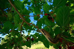 Four-lined snake (Elaphe quatuorlineata) moving along a branch of Mulberry tree, Patras, The Peloponnese, Greece, May 2009 - Wild Wonders of Europe / Ziegler