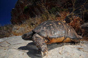 Marginated tortoise (Testudo marginata) on a rock, Patras area, The Peloponnese, Greece, May 2009  -  Wild Wonders of Europe / Ziegler