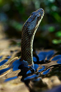 Dice snake (Natrix tesselata) hunting for small fish and tadpoles in a lake, Patras area, The Peloponnese, Greece, May 2009  -  Wild Wonders of Europe / Ziegler