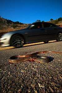 Dead snake on a road, probably a Balkan whip snake (Hierophis gemonensis) or a Western whip snake (Hierophis viridiflavus) with a car driving past, Patras area, The Peloponnese, Greece, May 2009 - Wild Wonders of Europe / Ziegler