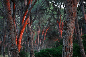 Pine forest (Pinus sp) in a wetland, Patras area, The Peloponnese, Greece, May 2009 - Wild Wonders of Europe / Ziegler
