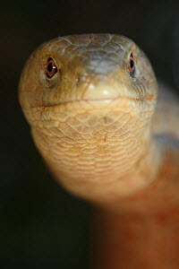 European glass lizard (Pseudopus apodus) portrait, Western Peloponnesee, The Peloponnese, Greece, May 2009  -  Wild Wonders of Europe / Ziegler