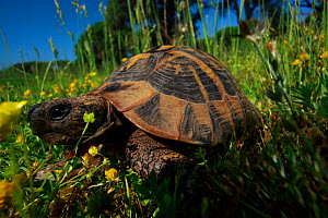 Hermann's tortoise (Testudo hermanni) in a meadow, Patras area, The Peloponnese, Greece, May 2009  -  Wild Wonders of Europe / Ziegler