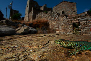 Peloponnese wall lizard (Podarcis peloponnesiacus) on rock in a typical village, Mani Peninsula, The Peloponnese, Greece, May 2009  -  Wild Wonders of Europe / Ziegler