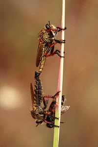Robber flies (Asilidae) mating, one with insect prey, The Peloponnese, Greece, May 2009  -  Wild Wonders of Europe / Ziegler