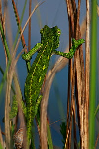 Rear view of juvenile African chameleon (Chamaeleo africanus) climbing, Southern The Peloponnese, Greece, May 2009  -  Wild Wonders of Europe / Ziegler