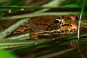 Marsh frog (Rana ridibunda) in water, The Peloponnese, Greece, May 2009  -  Wild Wonders of Europe / Ziegler