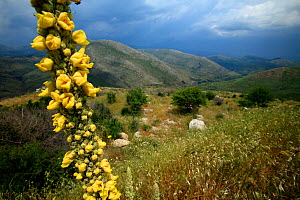 Mullein (Verbascum sp) in flower, with landscape behind, Southern Peloponnese, Greece, May 2009  -  Wild Wonders of Europe / Ziegler