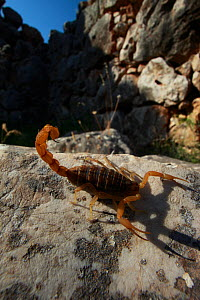 Mediterranean checkered scorpion (Mesobuthus gibbosus) on rock, the ancient ruins of Mycene, The Peloponnese, Greece, May 2009 - Wild Wonders of Europe / Ziegler