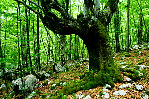 Large tree in pristine forest near the river Lepenjica, Lepena valley, Triglav National Park, Slovenia, June 2009  -  Wild Wonders of Europe / Zupanc