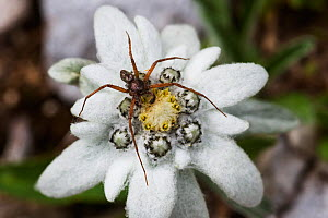 Spider with three legs missing on Edelweiss (Leontopodium alpinum) flower, Triglav National Park, Slovenia, July 2009  -  Wild Wonders of Europe / Zupanc