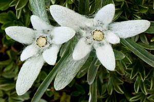 Two Edelweiss (Leontopodium alpinum) flowers, Triglav National Park, Slovenia, July 2009  -  Wild Wonders of Europe / Zupanc