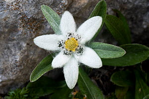 Edelweiss (Leontopodium alpinum) flower, Triglav National Park, Slovenia, July 2009  -  Wild Wonders of Europe / Zupanc