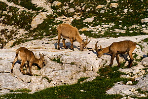 Three Ibex (Capra ibex) grazing on plants on rocks, Triglav National Park, Julian Alps, Slovenia, July 2009 - Wild Wonders of Europe / Zupanc