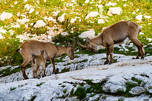 Two Ibex (Capra ibex) fighting with baby watching, Triglav National Park, Julian Alps, Slovenia, July 2009 - Wild Wonders of Europe / Zupanc