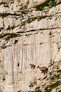Ibex (Capra ibex) mother ad kid climbing on rock face, Triglav National Park, Julian Alps, Slovenia, July 2009 - Wild Wonders of Europe / Zupanc