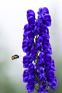 Monkshood (Aconitum napellus) flowers with bumble bee in flight, Triglav National Park, Slovenia, August 2009  -  Wild Wonders of Europe / Zupanc