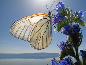 Black veined white butterfly (Aporia crataegi) feeding on Viper�s bugloss (Echium vulgare) Lagadin region, Lake Ohrid, Galicica National Park, Macedonia, June 2009 - Wild Wonders of Europe / Maitland