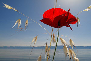 Mediterranean poppy (Papaver apulum) and Oat grass (Avena sp) on the shore of Lake Ohrid, Lagadin, Galicica National Park, Macedonia, June 2009  -  Wild Wonders of Europe / Maitland