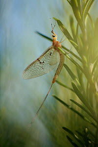 Mayfly (Ephemera lineata) Lagadin region, Lake Ohrid, Galicica National Park, Macedonia, June 2009 - Wild Wonders of Europe / Maitland