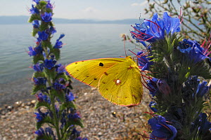 Clouded yellow butterfly (Colias croceus) feeding on Viper�s bugloss (Echium vulgare) Lagadin region, Lake Ohrid, Galicica National Park, Macedonia, June 2009 - Wild Wonders of Europe / Maitland