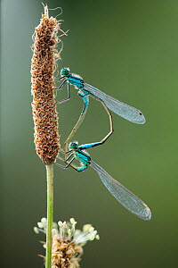 Mating pair of Azure damselflies (Coenagrion puella) on Plantain (Plantago sp) Lagadin region, Lake Ohrid, Galicica National Park, Macedonia, June 2009  -  Wild Wonders of Europe / Maitland